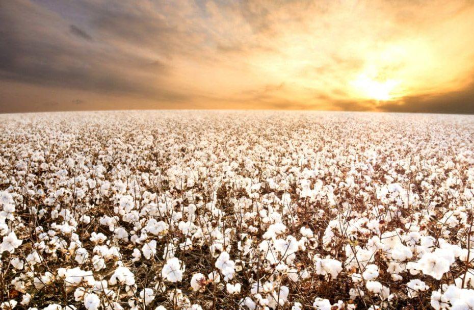 Saiba como clima do Inverno, afetou a produção do algodão